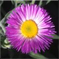 Streamside Fleabane Flower